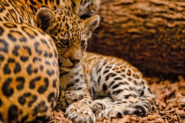 Tambako le Jaguar