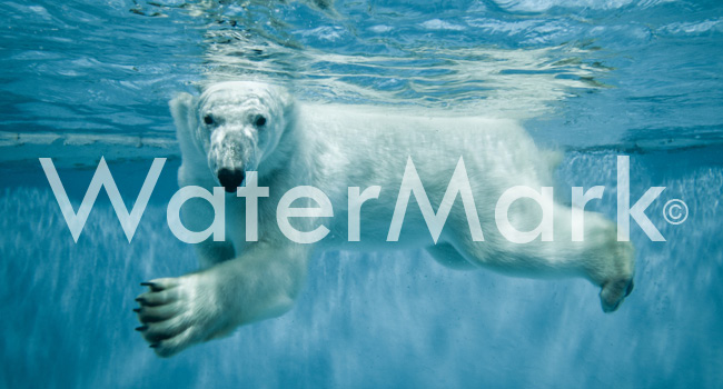 Photo d'un ours polaire avec un Watermark
