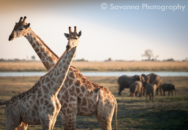 Photo de girafes avec un Watermark
