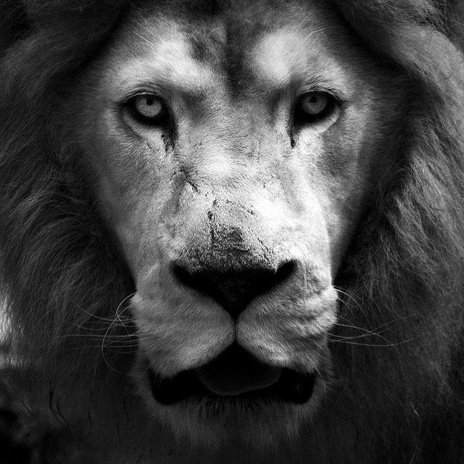 Lion Portrait Frédérick Lejeune