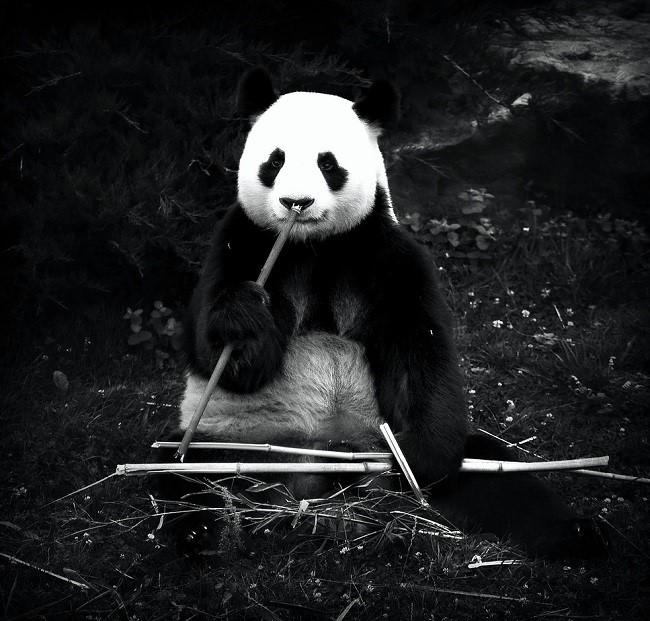 Panda Portrait Frédérick Lejeune