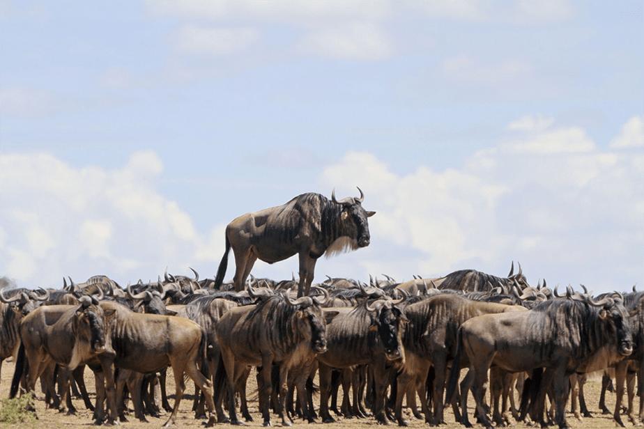 Un troupeau de yaks